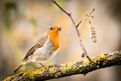 Red robin ! (Pakdekro - http://alexphoto.fr) Tags: red robin forest rouge wildlife gorge