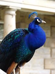 Peacock at Ragley Hall II, Warwickshire, 30 April 2016 (AndrewDixon2812) Tags: hall peacock arrow warwickshire hertford stratford ragley alcester