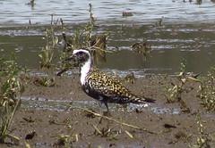 IMG_6483-1 American Golden-plover (John Pohl2011) Tags: bird canon john wading shorebird pohl sx50hs canonsx50hs
