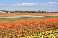 Hillegom, May 1, 2016 (cklx) Tags: red holland yellow spring tulips may tulip april brightcolors tulpen noordwijkerhout tulp lisse 2016 bollenstreek hillegom
