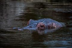 cathyb-20160428-IMG_8996.jpg (madelinefluffbum) Tags: zoo oz australia melbourne victoria vic hippos downunder werribeezoo plainkeywords