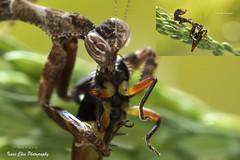 (Isaac Chiu5433) Tags: macro nature closeup backlight mantis macrophotography