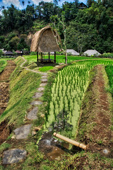 Beautiful Rice Fields and Hut (Stuck in Customs) Tags: november bali color tree green field vertical indonesia landscape photography photo asia southeastasia day rice farm harvest farmer ricefield dailyphoto trey 2015 ratcliff hdrphotography stuckincustoms p2016 treyratcliff stuckincustomscom sonya7r