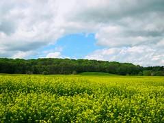 Un petit coin de ciel bleu (Doonia31) Tags: france fleurs jaune champs vert bleu ciel arbres agriculture nuages paysage campagne cultures blanc colza gers sudouest