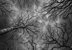 Look into My Eyes - April 2016 (GOR44Photographic@Gmail.com) Tags: wood trees sky bw cloud white black tree mono woods branch fujifilm wgc xpro1 sherrards 18mmf2 gor44