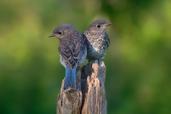 Baby bluebirds (eastern) (Phiddy1) Tags: baby toronto ontario canada birds bluebird easternbluebird