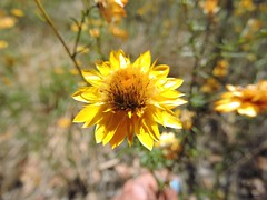 Sticky everlasting  Xerochrysum Viscosum  (Sheila's collection) Tags: sticky asteraceae everlasting