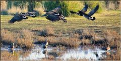 Morning In The Marsh (Romair) Tags: geese canadiangeese flyinggeese cortemaderamarsh rogerjohnson