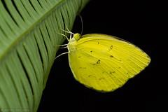Grass Yellow butterfly (Eurema sp) (Anthony Kei C) Tags: pieridae eurema grassyellowbutterfly