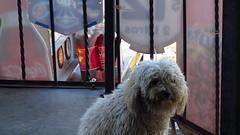 """El perrito """"Ben 10"""", asomndose (Xic Eseyosoyese (Juan Antonio)) Tags: canon de la is ben 10 mary el que powershot perro tienda le nombre su es doy ver lul vecina barandal asomndose sx170"""