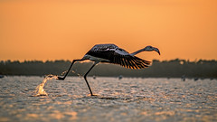 A beautiful visitor (iosif.michael) Tags: sunset sky lake bird beautiful golden sony magic salt cyprus hour larnaca a55 flywater