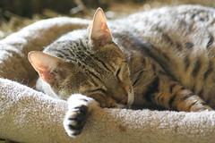 Sleepy cat (alicehanton) Tags: rescue cats car cat truck feline farm tabby pussy yawn purr sanctuary miaow avalo