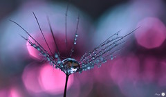 A touch of pink (Trayc99) Tags: pink macro reflection nature water closeup droplets seed dandelion delicate