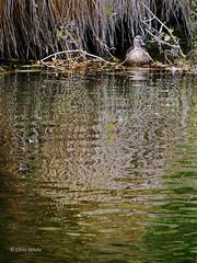 Undercover (Chris NZ) Tags: newzealand christchurch river garden botanical stream botanicalgardens hagleypark chriswhite chrisnz chriswhitephotography chriswhitephotographynz