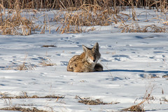 January 16, 2016 - This coyote in Cherry Creek State Park didn't mind the snow. (Tony's Takes)