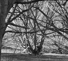 tanglewood2 (dick_pountain) Tags: trees blackandwhite london blackwhite parliamenthill