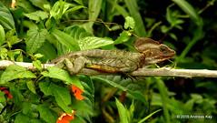Jesus Christ lizard, Basiliscus galeritus (In Memoriam: Ecuador Megadiverso) Tags: naturaleza southamerica nature fauna ecuador reptile wildlife natur lizard equateur lagartija equador biodiversity lezard eidechse reptilia biodiversidad basilisk mindo südamerika neotropical jesuschristlizard neotropics taxonomy:class=reptilia basiliscusgaleritus andreaskay