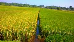 Tanaman Padi (id.endy) Tags: padi kampung sawah petani cilacap