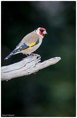 bougon (Paloudan) Tags: bird sparrow animaux oiseau chardonneret chardonneretlgant passereau