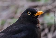 Mr Blacky (Steve-h) Tags: park ireland dublin male nature birds canon spring zoom telephoto april blackbirds allrightsreserved ststephensgreen 2015 steveh