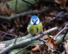 Blue Tit (eric robb niven) Tags: winter scotland dundee wildlife bluetit wildbird winterwatch weirdwinter ericrobbniven