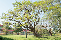 Cha-am,Phetburi-Jan21,2016:The old tree at Maruekhathaiyawan Palace, Huahin Chaam, Phetchaburi,Thailand on 21 January 2016 (leykladay) Tags: ocean old travel pink blue sea summer sky white house holiday building green beach home water yellow architecture thailand hotel wooden italian sand asia king royal style palace arbor thai colored verdant column sight residence bang huahin rama stilts ercole skyblue chaam manfredi phetchaburi mrigadayavan vajiravudh marukhathaiyawan