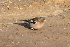 Chaffinch (Tevaironi) Tags: bird nature birds finch fringillacoelebs wildbirds commonchaffinch  israelibirds holylandbirds