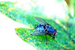 BLUE FLY (Katebirdgirl ~ Kate Carey Peters) Tags: blue insect fly australia
