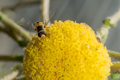 Hoverfly on Craspedia (Bumble BC) Tags: flowers plants flower yellow australia insects canberra asteraceae act arthropods hoverfly syrphidae diptera australiancapitalterritory australiannationalbotanicgardens anbg craspediasp