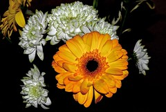 Colour contrast (Nige H (Thanks for 4m views)) Tags: flowers white colour nature yellow contrast gerbera chrysanthemum colourcontrast