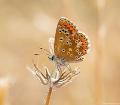 Aricia cramera (David Martn Lpez) Tags: naturaleza macro nature animal butterfly insect mariposa insecto lamorena ariciacramera southernbrownargus davidmartinlopez