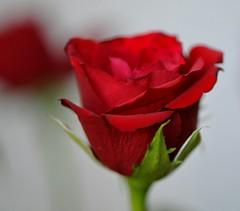 kiss (andrea.zanaboni) Tags: red roses flower macro colors nikon rosa fiori rosso colori macrophotography