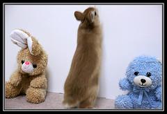 ICHIGO san 35 (mensore) Tags: brown rabbit bunny san ichigo netherlanddwarf
