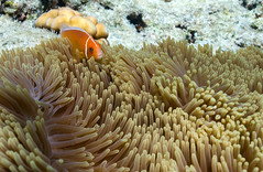 Clownfish in Anomone (Warriorwriter) Tags: fish coral marine underwater diving environment aquatic reef palau pw oceania rockislands