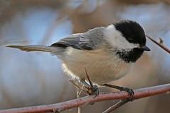 CAC036128a (jerryoldenettel) Tags: bird chickadee nm blackcappedchickadee 2016 poecileatricapillus passeriformes passerine paridae corralesbosque sandovalco