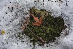 (yoko.wannwannmaru) Tags: winter white snow green ice moss mapleleaf february mttakao nikond810 deadleag 20160204dsc7837n
