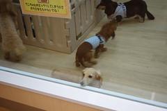 DSC07998 (yukichinoko) Tags: dog dachshund 犬 kinako ダックスフント ダックスフンド きなこ