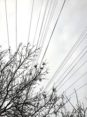 29th February 2016 (EmmaDurnford) Tags: tree silhouette grey monotone wires leafless telephonewires laburnum