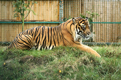 Tiger Hybrid - Makari & Bruno (1) (Artemis1947) Tags: bigcats lowcontrast infocus forprinting highquality tigershybridmakaribruno wildlifeheritagefoundation692011 whfheadcornkent