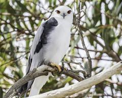 _G4A0919 (iansjamieson) Tags: kite black canon australia 7d mkii birdlife shouldered