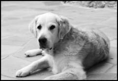 Rex (bilder/images) Tags: leica portrait goldenretriever 50mm fuji bokeh canine retriever rex dogportrait 095 xt1 noctilux095 fujixt1