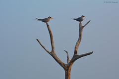 Happy Valentine's Day!! (Rajit Pillai Photography) Tags: lake nature river pond nikon aquatic rivertern 200500mm aquaticbirds d5200 indianrivertern