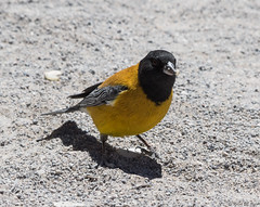 Black-hooded Sierra-Finch (Ralph Green) Tags: chile bird southamerica birds andesmountains phrygilusatriceps atacamadesert reservanacionallosflamencos salardetara cometocinodelnorte