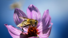 cheerful ... lunch (staring @ botany) Tags: pink blue sky sunlight flower macro animal insect outdoors fly eating drinking nectar pollen hoverfly sunhine