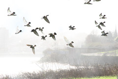 Pigeons West Bank (foggyray90) Tags: mist river westbank pigeons flock mersey merseyside widnes spikeisland halton