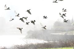 Pigeons West Bank (foggyray90) Tags: mist river westbank pigeons flock mersey merseyside widnes spikeisland halton