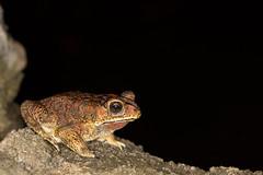 Black-spined Toad (Duttaphrynus melanostictus) (BJSmit) Tags: 2016 indonesia northsulawesi bunaken sulawesiutara blackspinedtoad duttaphrynusmelanostictus