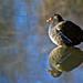 Gallinule poule d'eau