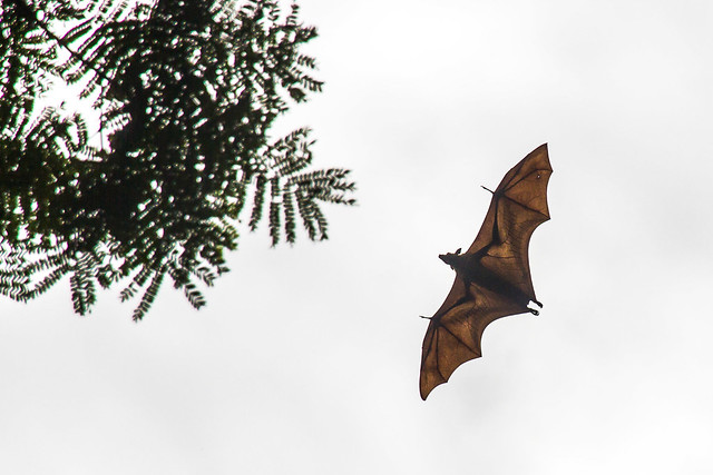 Sri Lankan fruit bat