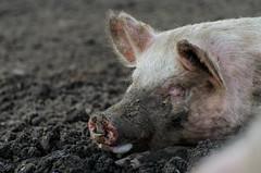 DSC_6781-1 (AndrewBaillie) Tags: pig suffolk nikon covehithe nikon70300vr d7000